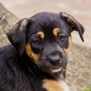 No photo for Aiden ~ Cute Amstaff X Lab Puppy