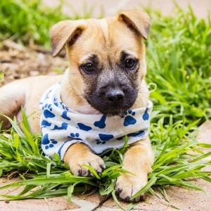 No photo for Sabine ~ Beautiful Amstaff X Lab Puppy