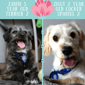 No photo for Ziggy And Zabibi ~ Cocker Spaniel And Terrier X