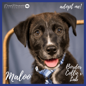 No photo for Maloo ~ Border Collie X Lab Puppy