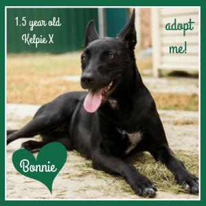 No photo for Bonnie ~ 1.5yo Friendly Kelpie X Girl