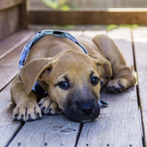 No photo for Geneveave ~ Placid Mastiff X Puppy
