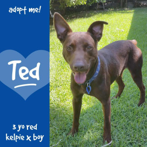 No photo for Ted ~ 3 Year Old Red Kelpie X
