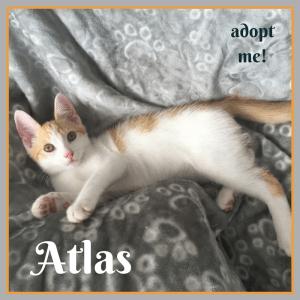 No photo for Atlas ~ Kitten