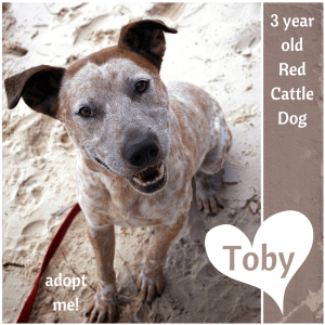 No photo for Toby ~ 3 Year Old Red Cattle Dog