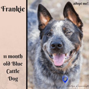 No photo for Frankie ~ 11 Month Old Blue Cattle Dog