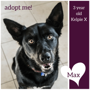 No photo for Max ~ 3 Year Old Kelpie X