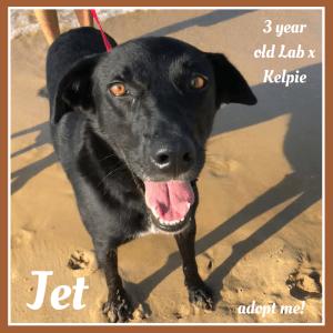 No photo for Jet ~ 3 Year Old Lab X Kelpie