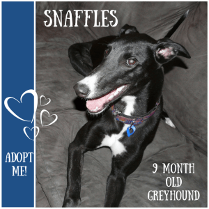 No photo for Snaffles ~ 9 Month Old Greyhound