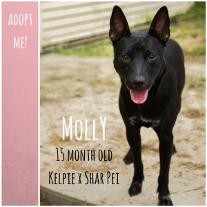 No photo for Molly ~ 15 Month Old Kelpie X Shar Pei