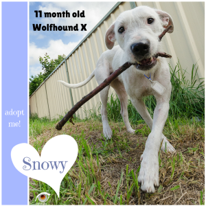 No photo for Snowy ~ 11 Month Old Wolfhound X
