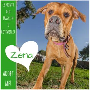 No photo for Zena ~ 13 Month Old Mastiff X Rottweiler