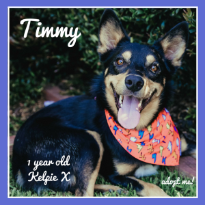 No photo for Timmy ~ 1 Year Old Kelpie X