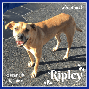 No photo for Ripley ~ 2 Year Old Kelpie X