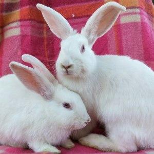 No photo for 2 Red Eye White Rabbits