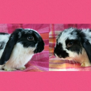 No photo for 2 Standard Lop Babies