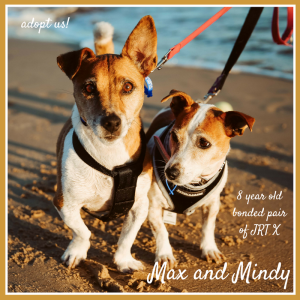 No photo for Max And Mindy ~ 8 Year Old Pair Of Jack Russell X