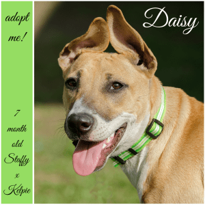 No photo for Daisy ~ 7 Month Old Staffy X Kelpie