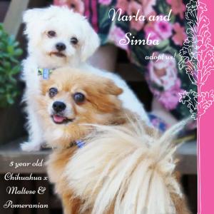 No photo for Narla And Simba ~ Chi X Maltese And Pomeranian