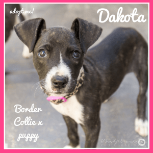No photo for Dakota ~ Border Collie X Puppy