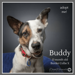 No photo for Buddy ~ 13 Month Old Border Collie X