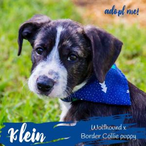 No photo for Klein ~ Wolfhound X Border Collie Puppy