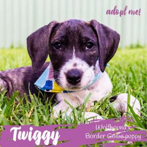 No photo for Twiggy ~ Wolfhound X Border Collie Puppy
