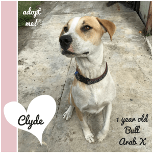 No photo for Clyde ~ 1 Year Old Bull Arab X