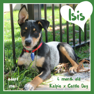 No photo for Isis ~ Lovely Kelpie X Cattle Dog Puppy