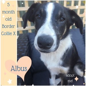 No photo for Albus ~ 5 Month Old Border Collie X