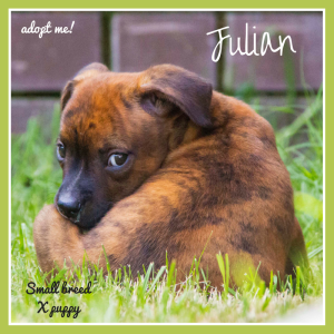 No photo for Julian ~ Small Breed Puppy