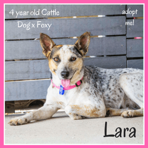 No photo for Lara ~ 4 Year Old Cattle Dog X Foxy