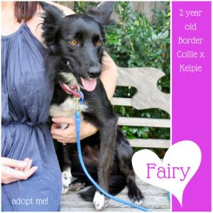 No photo for Fairy ~2 Yeard Old Border Collie  Kelpie