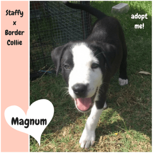 No photo for Magnum ~ Cute Staffy X Border Collie Puppy