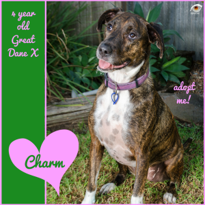 No photo for Charm ~ 4 Year Old Great Dane X