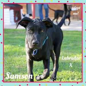 No photo for Samson ~ Beautiful Labrador X Puppy
