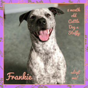 No photo for Frankie ~ 8 Month Old Cattle Dog X Kelpie