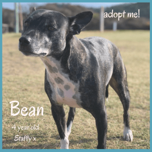 No photo for Bean ~ 4 Year Old Staffy X