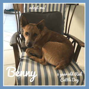 No photo for Benny ~ 3 Year Old Red Cattle Dog