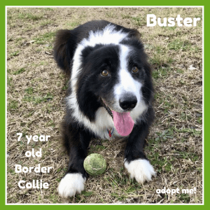 No photo for Buster ~ 7 Year Old Border Collie