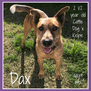 No photo for Dax ~ 2.5 Year Old Cattle Dog X Kelpie