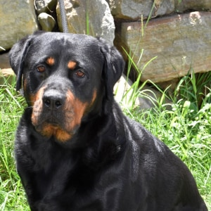 No photo for Minx ** Pure Bred Bob Tail Rottweiler **