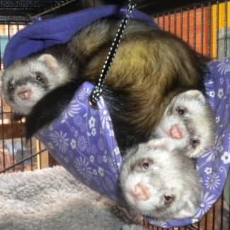 Several Ferrets Needing Homes