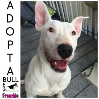 Adoptabull - Frenchie