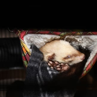 Desexed male and female Ferrets for adoption