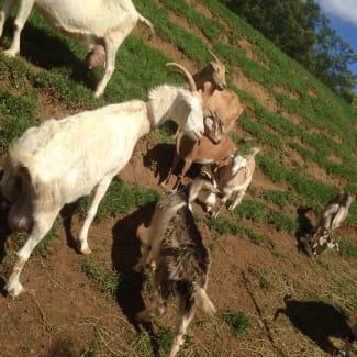 Bottle fed baby goats