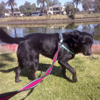 Sweet Marly. 7yo Lab/kelpie. Gentle & sweet!
