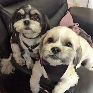 Poodle Cross Rescue - PetRescue