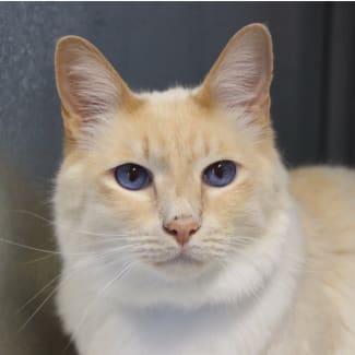 Wayan - Purrfect Match Cat Adoptions