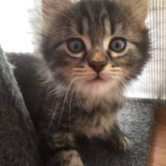 Rescue A Cat Inc Kittens